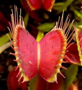 index of images strange weird venus fly trap