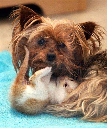 humane society yorkies bridget a 10 year yorkie who is foster to five tiny kitties at utah s