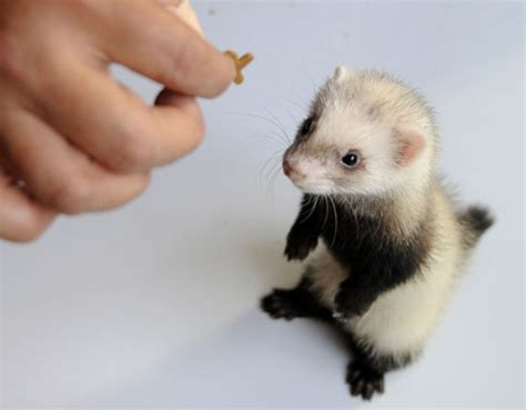 cute baby ferret baby animal zoo