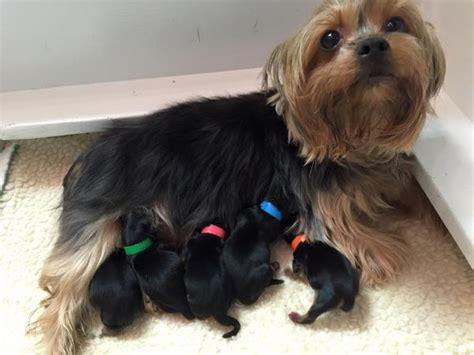 cloverdale yorkies welcome to cloverdale yorkies beautiful loving pups from our home to yours