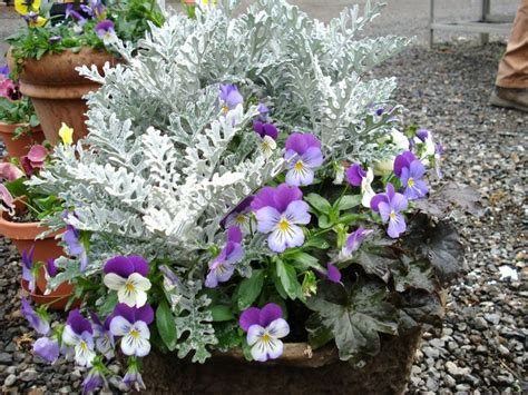 Winter Flowers For The Garden 17 Best Images About Container Ideas For Southern Oregon And Northern California On