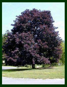 photo of maple crimson king with purple leaves black walnut tree bed