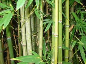 bamboo can treat wastewater