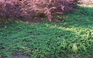 Blue Rug Plant Blue Rug Juniper 1 Gallon Junipers Buy Plants Online