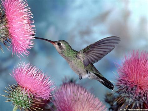 bird wallpaper free hummingbird wallpaper