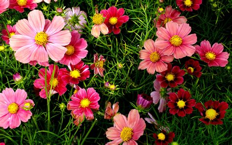 flowers images wallpaper cosmos pink garden hd flowers 1922