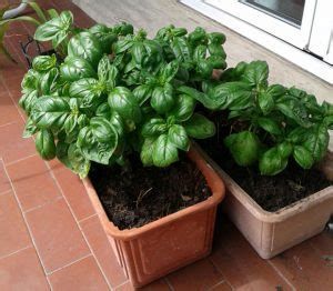 come si coltiva il basilico in vaso verde in casa archivi guida per casa
