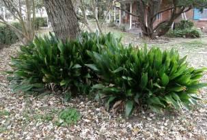 Iron Plant Cast Iron Plant Aspidistra Elatior Easy To Grow Ornamental