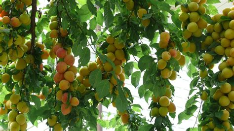 07 fruit tree fruit tree harvest anthocyanins beautiful plums as