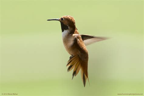 top 28 do hummingbirds fly south on the backs of geese