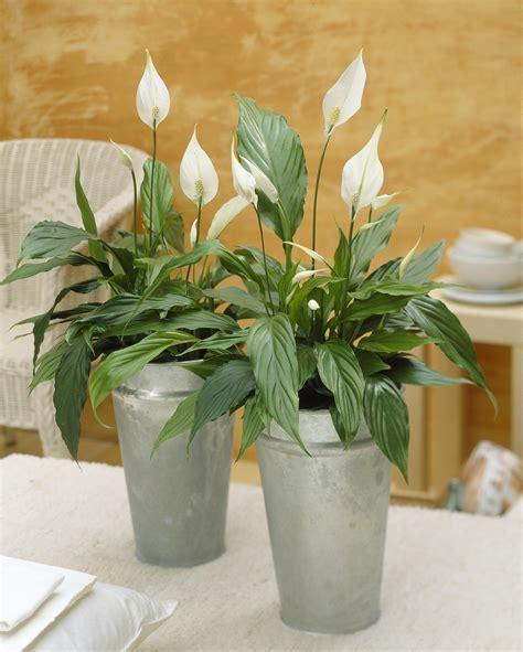 Charmant Plantes Depolluantes Pour La Maison #3: Plante-dinterieur-spatiphyllum.jpg