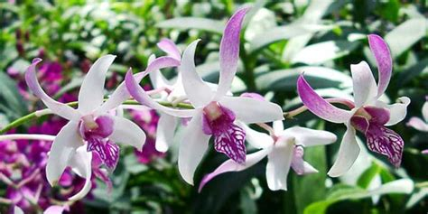 info lengkap mengenai bunga mawar selingkaran com info lengkap mengenai bunga anggrek selingkaran com