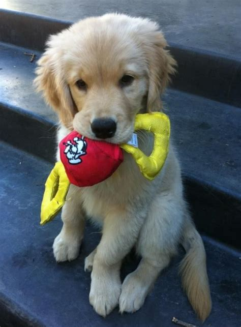 best toys for golden retrievers 136 best images about toys for golden retrievers on best plays for