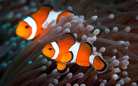 wallpaper bergerak ikan nemo clownfish wallpapers wallpaper cave