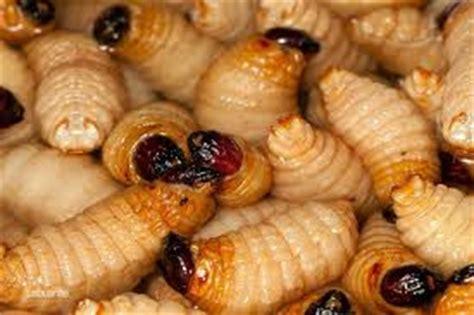 bajau si manuk si manuk warisan tradisional makanan tradisi kaum kadazan