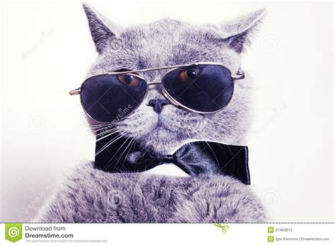 wallpaper hd chat lunette portrait of cat wearing sunglasses stock image image