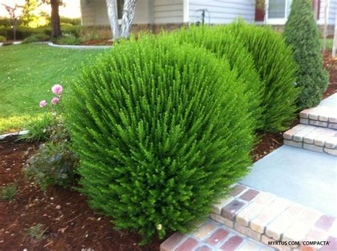 Bushes For Landscaping Best 25 Shrubs Sun Ideas On Shrubs Flowering Bushes Sun And