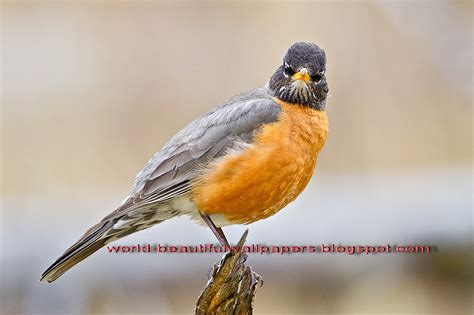 robin bird pictures on animal picture society