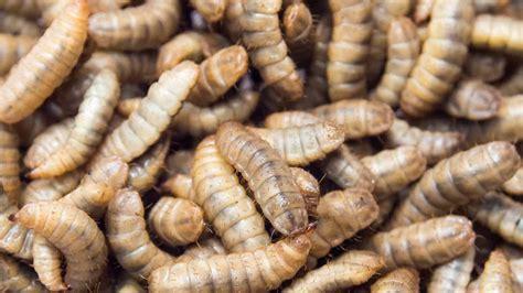 larve in casa come eliminare le larve di mosca disinfestazioni co