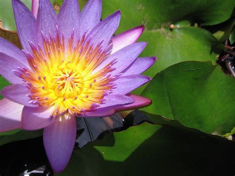 growing water lilies indoors