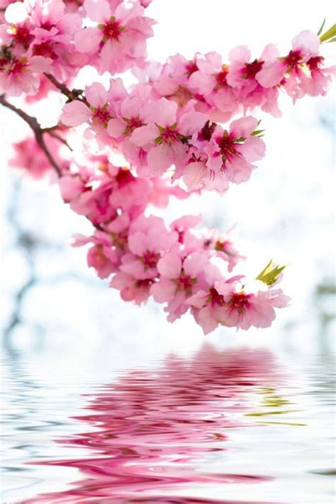cherry blossom pictures 17 best ideas about cherry blossom pictures on