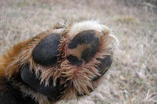 ripped paw pad 1074 best images about dogs on yorkie diy and pets