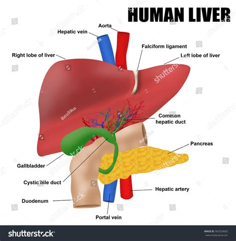 Books To Detox My Liver And Pancreas by Anatomy Human Liver Vector Illustration For Stock Vector