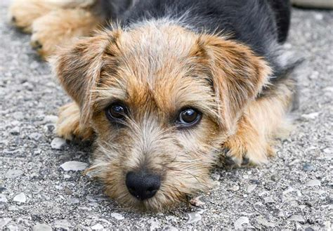 terrier puppies norfolk terrier puppies for sale akc puppyfinder