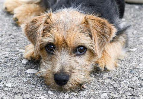 norfolk terrier puppies norfolk terrier puppies for sale akc puppyfinder