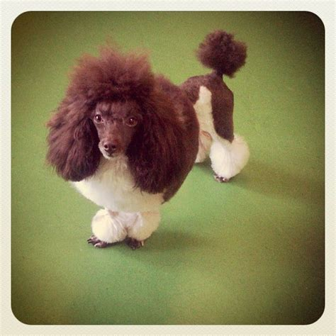 continental poodle grooming styles 122 best poodle cuts clips styles images on pinterest