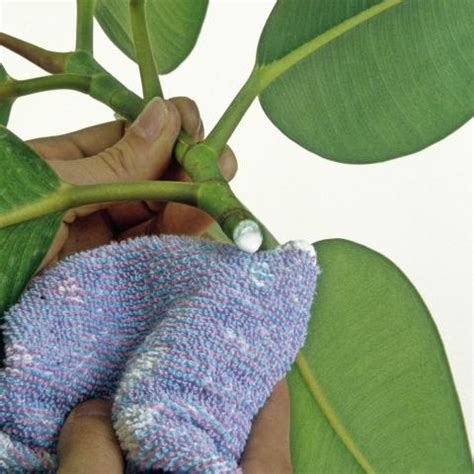 Gummibaum Im Garten 4781 gummibaum im garten gummibaum im freien halten so f hlt