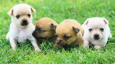 perros peque os de pelo corto razas razas de perros fotos de perros perros de raza fotos de