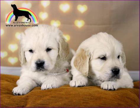golden retriever kijiji golden retriever cuccioli a altre zone kijiji annunci di ebay