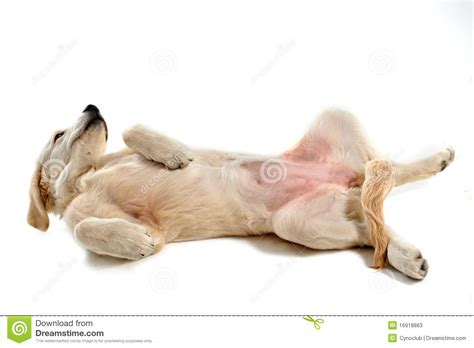 your purebred puppy golden retriever puppy golden retriever stock photos image 16918863