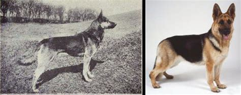 pug vs german shepherd comparing the looks of breeds in 1915 and 2015