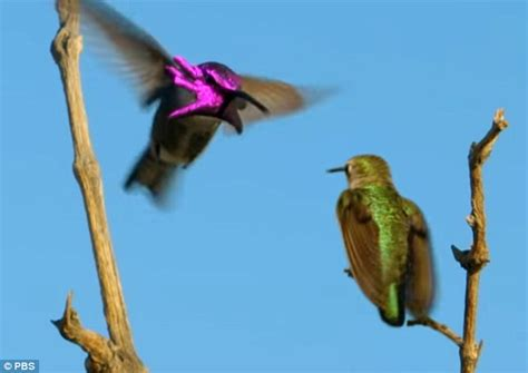 male hummingbirds appear to have the head of a metallic
