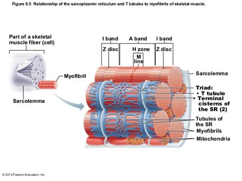 chapter 9 weight management test image gallery sarcolemma diagram
