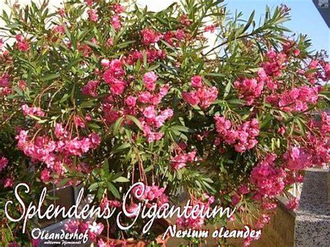 wann schneidet oleander oleander umtopfen oleander umtopfen mein sch ner garten