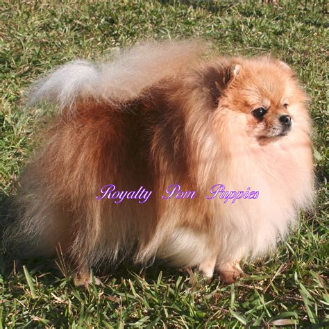 yorkie or pomeranian poms available royalty yorkie or pomeranian puppies louisiana usa breeds picture