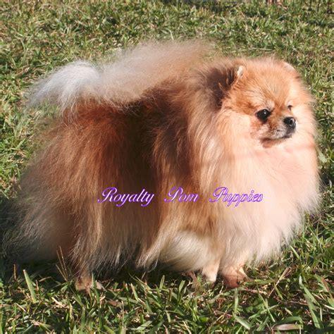 pomeranian louisiana poms available royalty yorkie or pomeranian puppies louisiana usa breeds picture