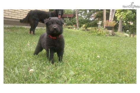 belgian sheepdog puppies for sale belgian sheepdog puppy for sale near bulgaria 17c577d5 2621