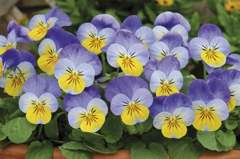 buy 40 plus 20 free large plug plants viola sorbet yellow
