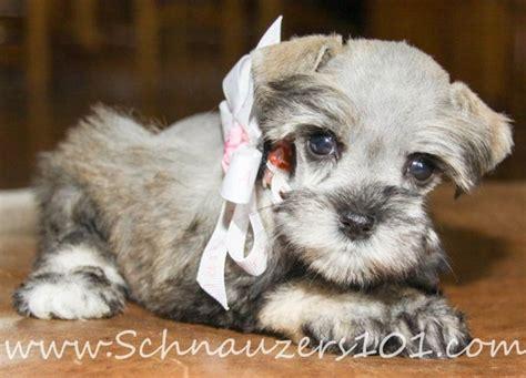 schnauzer puppies colorado 25 best ideas about teacup schnauzer on miniature schnauzer mini