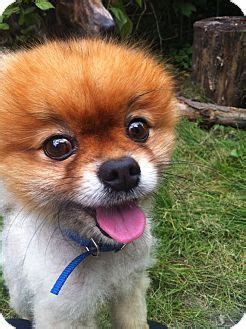 pomeranian rescue ontario toronto on pomeranian meet a for adoption