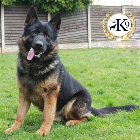 k9 dogs for sale dogs for sale total k9