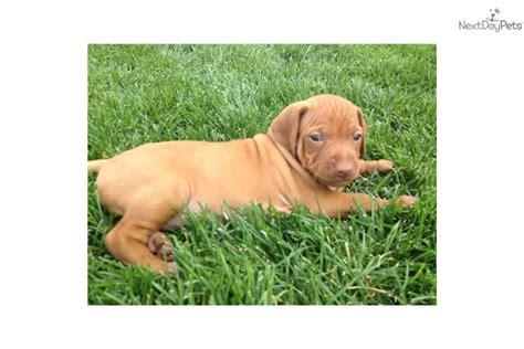 vizsla puppies price vizsla puppy for sale near provo orem utah d15dba2f 77a1