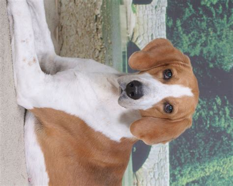 foxhound puppies american foxhound portrait photo and wallpaper beautiful american foxhound