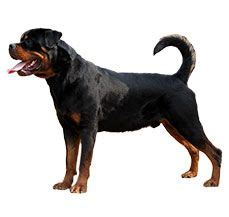 who is stronger pitbull or rottweiler 1000 images about breeds information on mastiff breeds bull