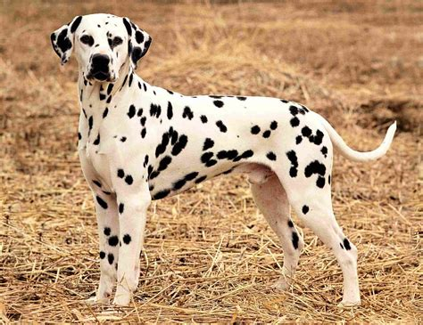 Do Dalmatians Shed by Best Suited Breeds For Indian Climate Pets World