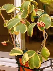 Succulent Container Gardens - hoya kerrii variegata sweetheart hoya world of succulents
